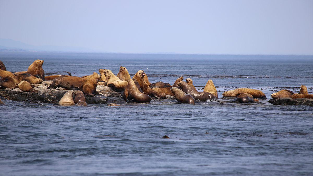 Sea Lions in Juan de Fuca